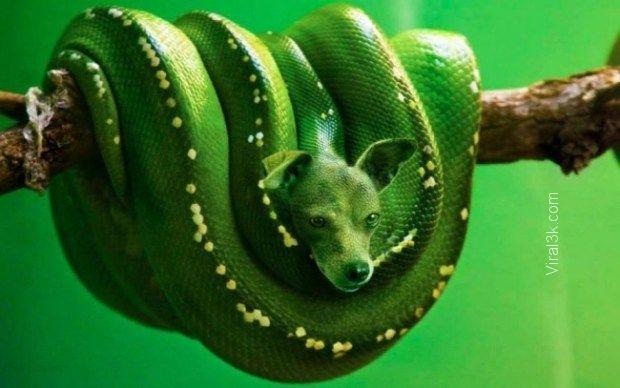 Green Bark Python