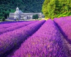 Lavender Meadows